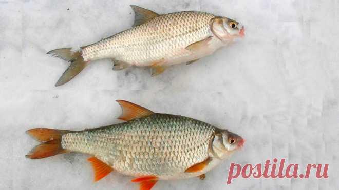 Рыбы, которых рыболовы постоянно путают. Сможете ли вы их отличить?   Рыболовные фишки   Яндекс Дзен