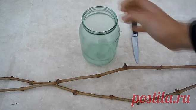 Простой способ укоренения черенков винограда! Проверенный способ!