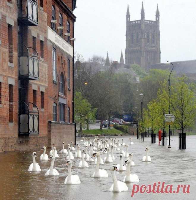 В Англии после наводнений по улице плавают лебеди.