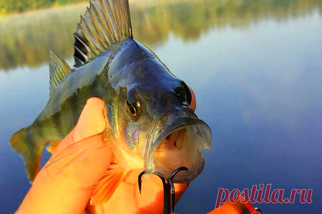 Catching of a perch on the live bait