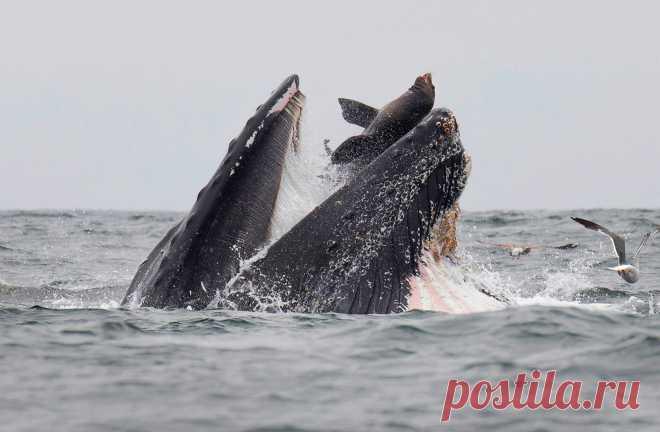 Горбатый кит случайно схватил морского льва во время добычи планктона в бухте Монтерей, Калифорния, США. По словам фотографа, «морской лев почти со стопроцентной вероятностью остался невредим». Это не первый случай, когда животные, кроме рыбы и криля, случайно попадают в пасть горбатого кита. Исследователи нашли доказательства того, что киты частенько проглатывают мелких морских птиц, в то время как более крупные существа, такие как пеликаны и морские котики, обычно отделываются легким…