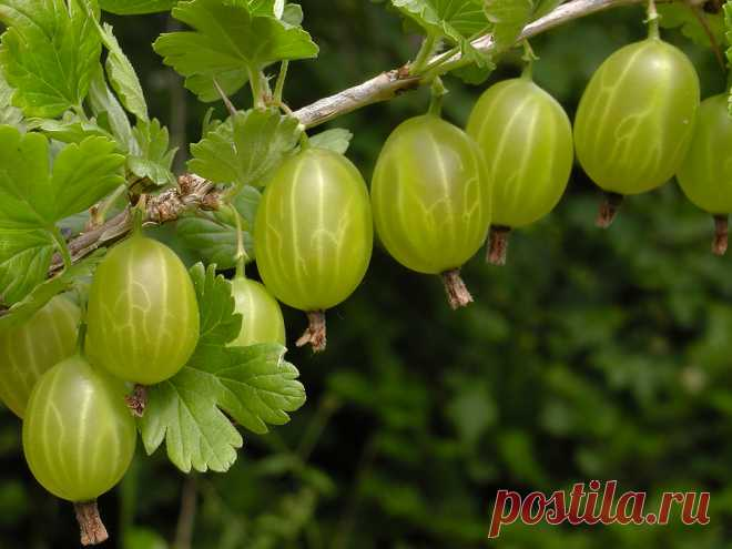 Gooseberry under protection of a tomato \u000aAll the besshipny gooseberry is good, but the kryzhovnikovy pililshchik and a pyralid annoy it. How to find the reliable defender for a gooseberry?\u000a\u000aLong on our site grade gooseberry bushes Houghton grew. Especially for …