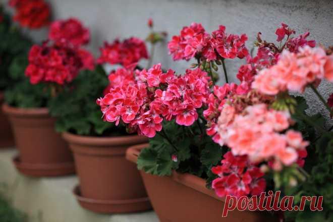 Чудо-удобрения для герани для обильного цветения без химии | Растениеводство | Яндекс Дзен