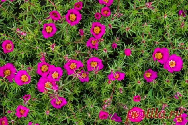 Краски лета на клумбе с портулаком — для тех, кому лень возиться в цветнике Многие любители цветов отдают предпочтение непритязательным культурам, которые радуют глаз цветением все... Читай дальше на сайте. Жми подробнее ➡