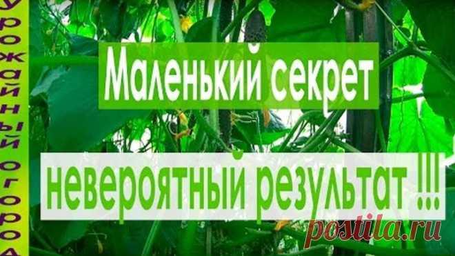 ЧТОБЫ ЛИСТЬЯ ОГУРЦОВ НЕ ЖЕЛТЕЛИ!!!ПРОСТОЙ СПОСОБ!!!
