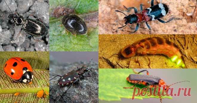 7 жуков, которых должен беречь каждый дачник Прежде чем раздавить жука, попавшего в поле вашего зрения, внимательно рассмотрите его. Возможно, это один из тех, кто защищает наши сады и огороды от вредителей.
