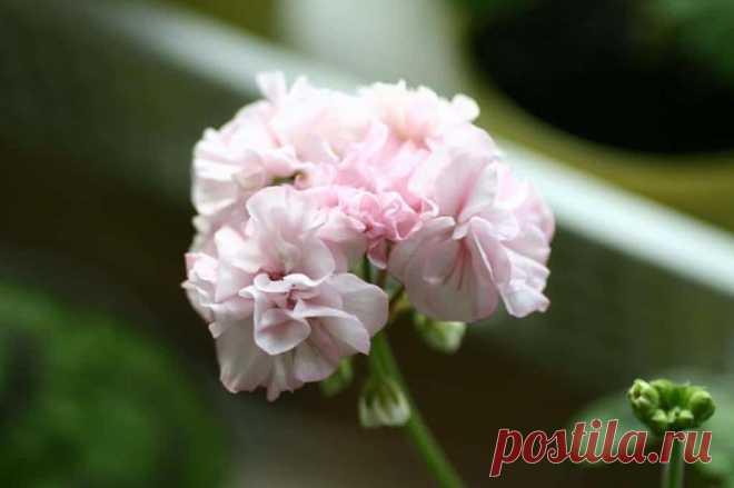 Выращивание герани: полезные качества цветка Особенность герани и её свойства Хочется начать с того, что растение имеет несколько названий, которые ему дали в различных уголках Земли. Для немцев герань – это «аистиный нос», для англичан – «журав...