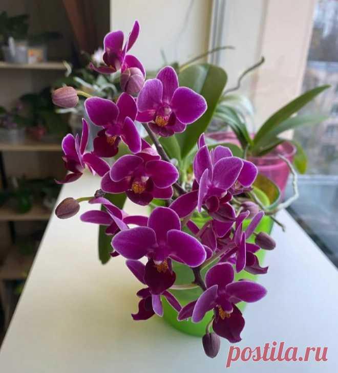 Выпросила у работницы цветочного магазина рецепт подкормки: после нее орхидеи полностью покрываются цветами