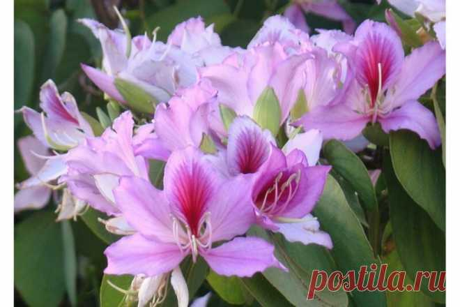Прекрасная Баухиния, или Как вырастить орхидейное дерево | Лайфхаки и полезные советы | Яндекс Дзен