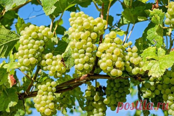 Выбор сорта и места посадки лозы. Где посадить виноград на участке? Место для посадки винограда следует выбирать тщательно, каждый сорт требует своих условий.