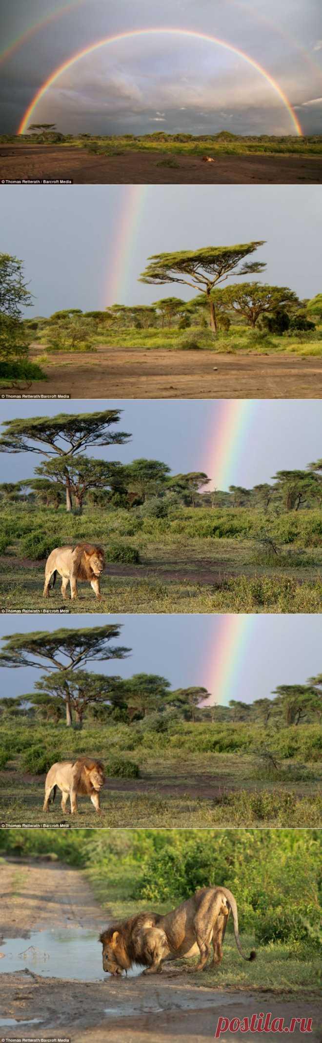 Лев и радуга :  НОВОСТИ В ФОТОГРАФИЯХ