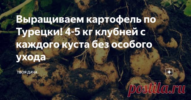 Выращиваем картофель по Турецки! 4-5 кг клубней с каждого куста без особого ухода Моя знакомая в прошлом году посетила Турцию, и узнала о том, как некоторые местные жители выращивают картофель. Метод оказался простым, и в этом году она его попробовала, и пришла в восторг от урожайности. Давайте расскажу подробнее, про этот метод. Хороший урожай картофеля. Подготовка Картофель выращивается в ведрах. Подойдет обычная пластмассовая тара вместимостью по 10 л. Предварительно ее