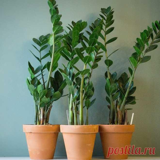 [Растения в доме] Замиокулькас или долларовое дерево: уход в домашних условиях