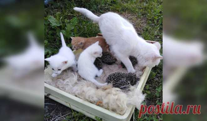 В Башкирии кошка спасла ежат от голодной смерти и растила вместе с котятами - mkset - медиаплатформа МирТесен