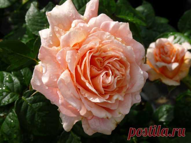 8 неприхотливых сортов роз для сада - Черная пантера