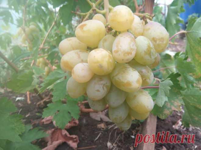Создание виноградника с нуля – краткая инструкция новичкам. | Самарский виноград | Яндекс Дзен