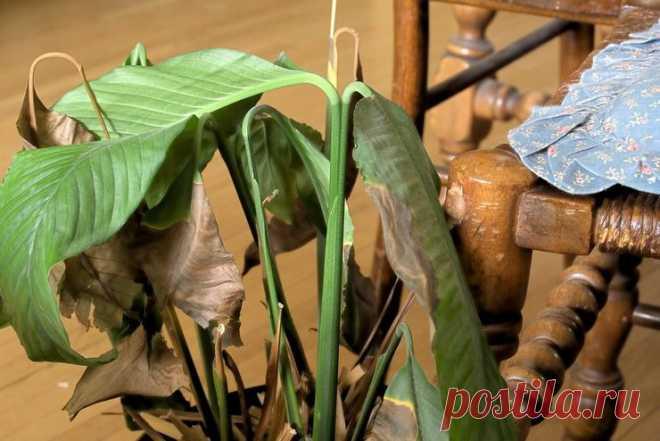 Почему сохнут и чернеют кончики листьев у спатифиллума? - Полезно Знать