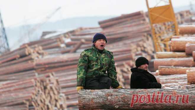 Скоро нам ничего не оставят. Китайцы вырубают леса Сибири   Папа на отдыхе   Яндекс Дзен
