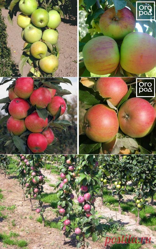 мастопатия сорта колоновидных яблонь описание и фото эти