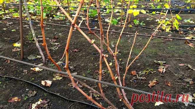 При такой обрезке винограда вы всегда будете с урожаем! Обрезка винограда для начинающих | Виноград VM | Яндекс Дзен