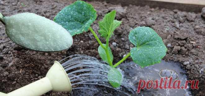 Огірки люблять різноманітні підживлення, бо завдяки швидкому їх росту можуть забирати з землі всі корисні речовини. Виявляється цій рослині до вподоби й солодке добриво, яке допомагає її зростанню, розвитку та диханню.  Приготування цукрової підгодівлі.  На один кущ візьміть 2 ст. л. цукру та ро