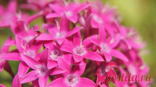 Безупречные цветки: как ухаживать за пентасом ланцетовидным