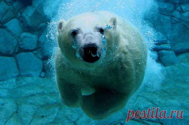 La fotoelección de los animales terrestres sorprendidos detrás de la natación | el Diablo toma los Animales de la tierra, resulta, pueden completamente no sólo nadar en el agua, pero hasta zambullir. Por ejemplo, el oso blanco que pasa toda la vida al océano, el nadador hermoso: ¡aunque se sume no más profundamente que en 2 m, es capaz de aumentar bajo el agua la velocidad hasta 10 km\/h y mantener la respiración para 2 minutos! Aproximadamente tanto pueden estar por término medio en el entorno de agua los pingüinos — los únicos pájaros, que nadan, pero no vuelan. Re...