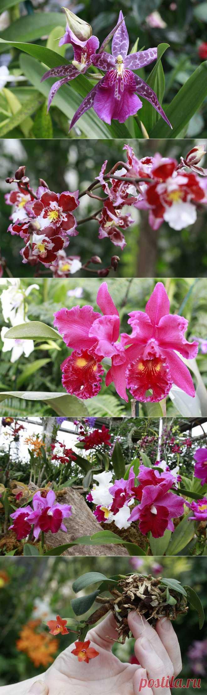 Выставка орхидей в США   САД НА ПОДОКОННИКЕ