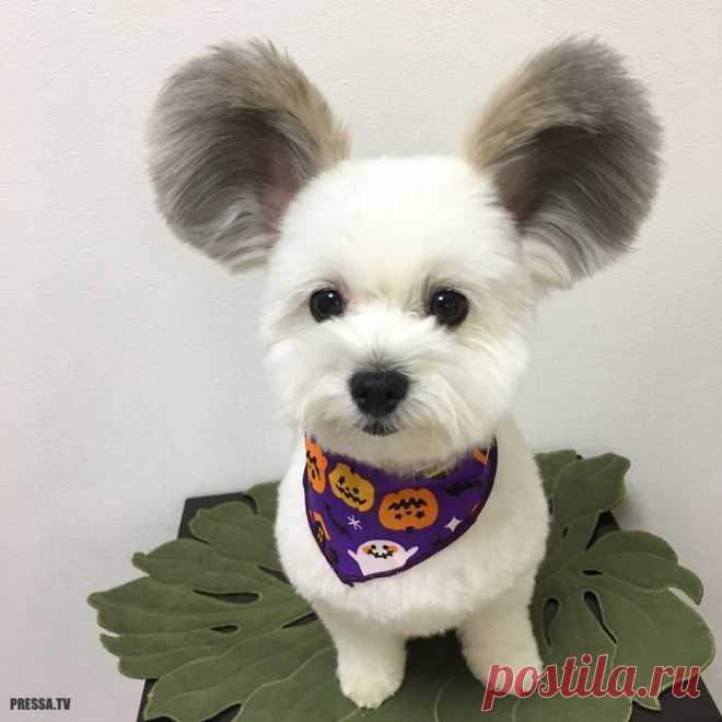 Щенок с ушами Микки Мауса покорил пользователей Интернета . Чёрт побери