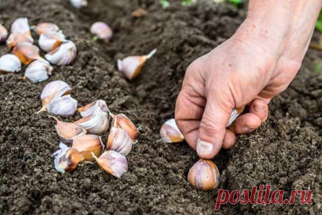 Посадка озимого чеснока осенью: сроки и полезные советы Русский фермер