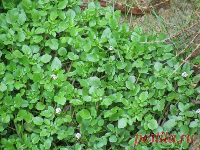 Какую полезную и вкусную зелень нужно посеять весной в первую очередь? Названия, описания, фото — Ботаничка.ru