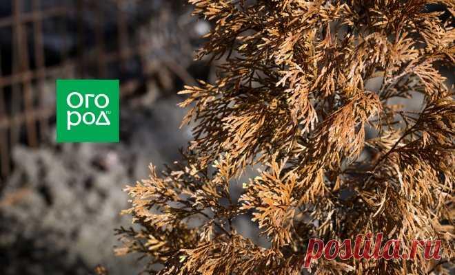 Туя засыхает – лечить или выкопать и сжечь? | В цветнике (Огород.ru)
