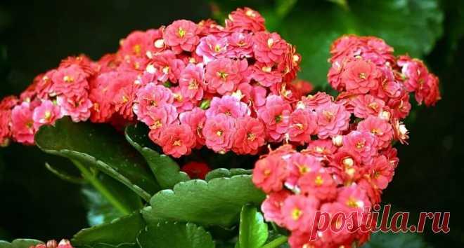 Какой грунт любит каланхоэ и как правильно пересадить цветок