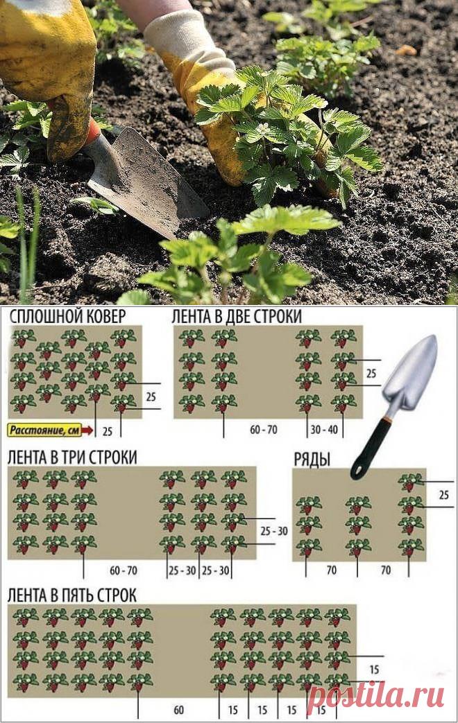 Как сажать клубнику в августе, чтобы не беспокоиться об урожае в следующем году? - Бабушкины секреты