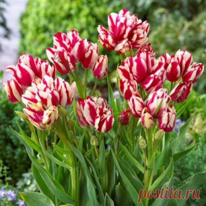 Как вырастить многоцветковые тюльпаны » Женский Мир