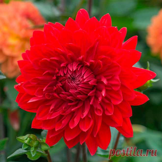 Sign Dahlia: the description and the characteristic on a flower horoscope
