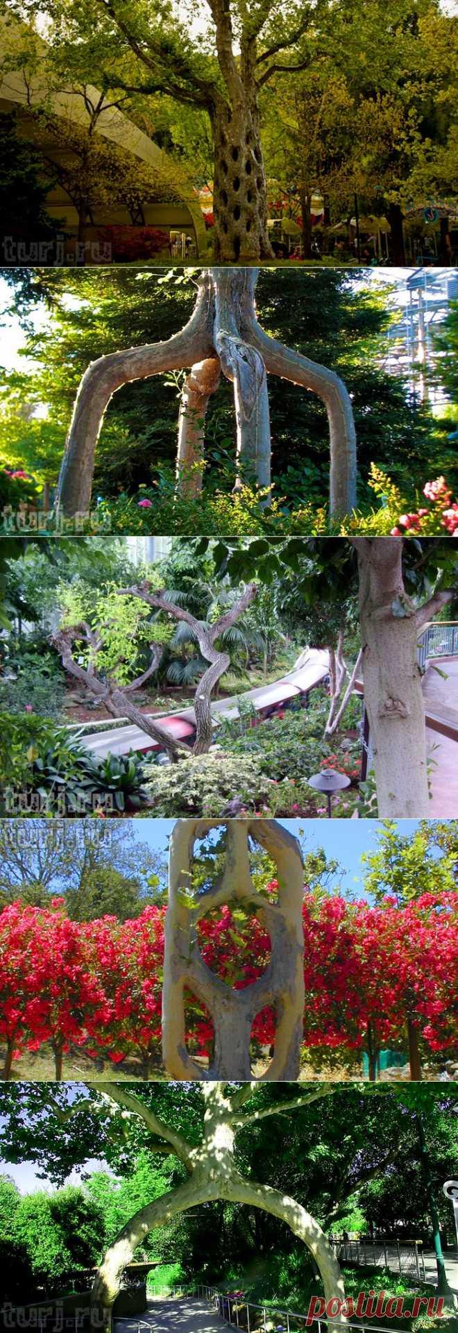 США, Калифорния: Древесный цирк Акселя Эрландсона или Можно ли завязать деревья в узел? / Мировые Достопримечательности / Мировые достопримечательности. Фото достопримечательностей, идеи для путешествий. Туристический журнал.