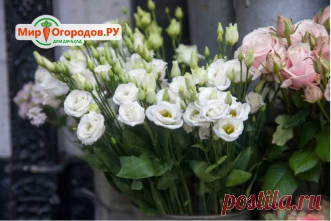 Цветок эустома: фото, описание и роскошные сорта