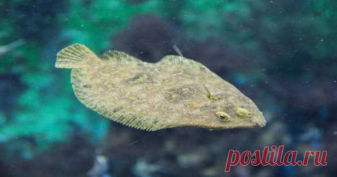 Рыба камбала: описание, где обитает, виды