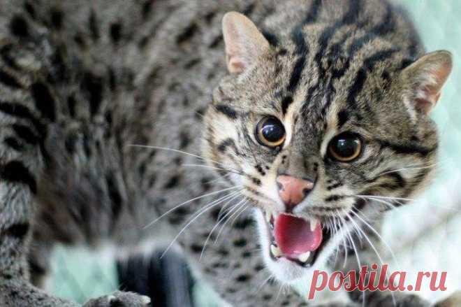 «Виверровый кот рыболов» — карточка пользователя Виктор Ф. в Яндекс.Коллекциях