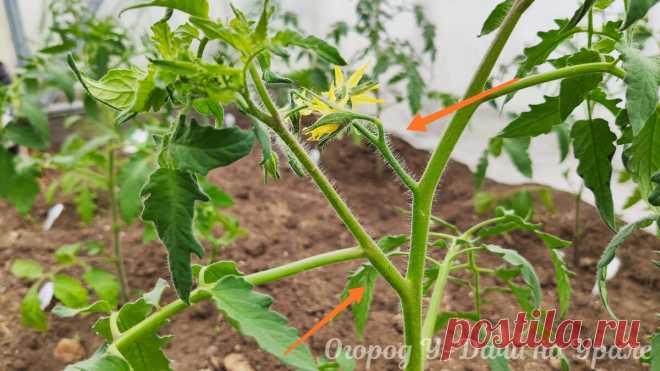 Как сформировать томаты в два ствола и правильно удалить пасынки, чтобы больше не беспокоили | Огород У-Дачи на Урале | Яндекс Дзен