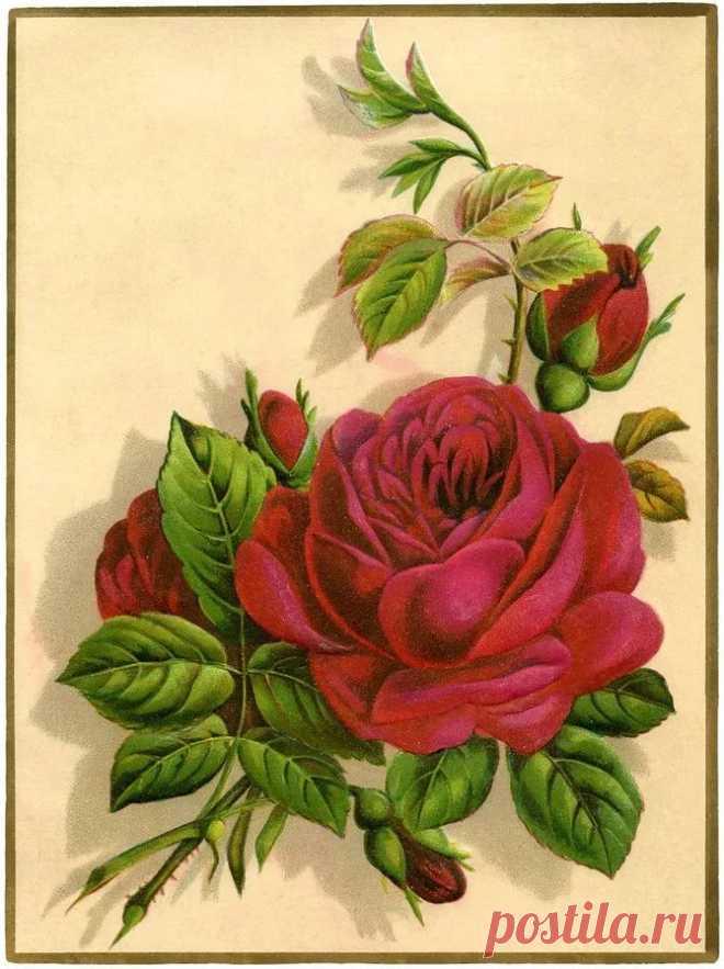 Розы открытка рисунок, девочке своими руками