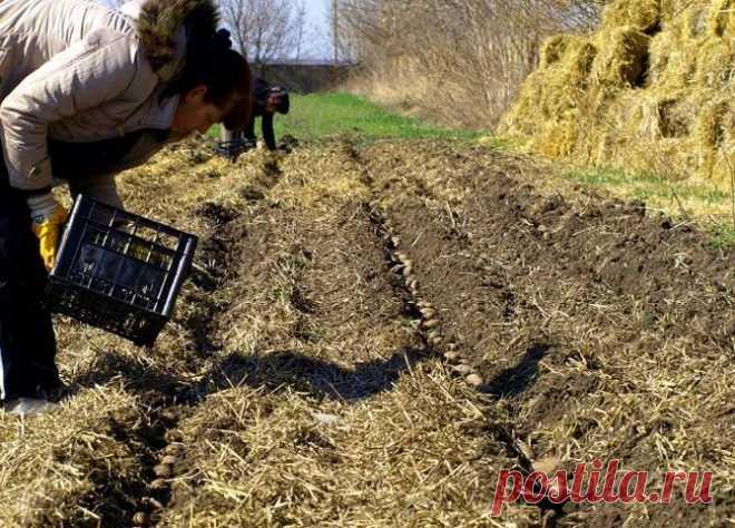 Выращивание картофеля: картофель под соломой