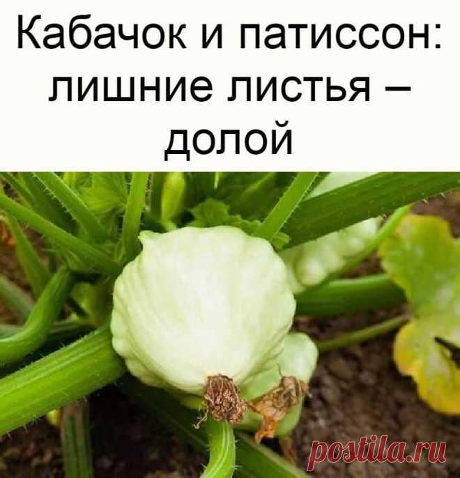 Кабачок и патиссон: лишние листья – долой
