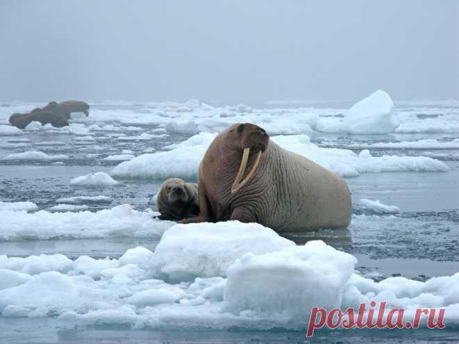Морж – это уникальное животное Арктики. В статье мы познакомим вас с его образом жизни и расскажем интересные факты, о которых мало кто говорил.