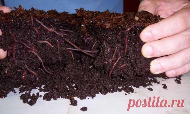 Чем полезны калифорнийские черви и как их разводить