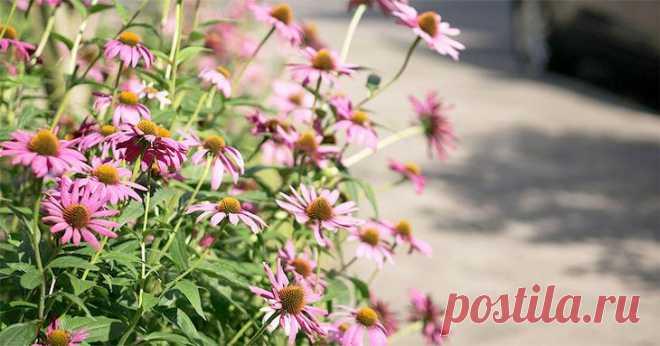 Эхинацея: посадка, уход и применение Эхинацея – многолетнее растение со множеством полезных свойств, которое иногда называют «американской ромашкой», так как завезено к нам оно было в семнадцатом веке из Америки. И если раньше существова...