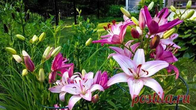 Как правильно выращивать лилии в открытом грунте
