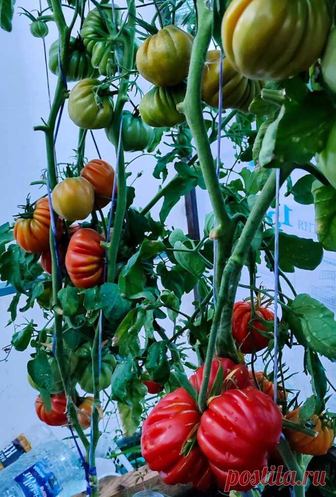 """Как в Китае выращивают помидоры """"для себя"""". Повторил их способ и теперь один вопрос: куда деть столько урожая   Стеклянная сказка   Яндекс Дзен"""