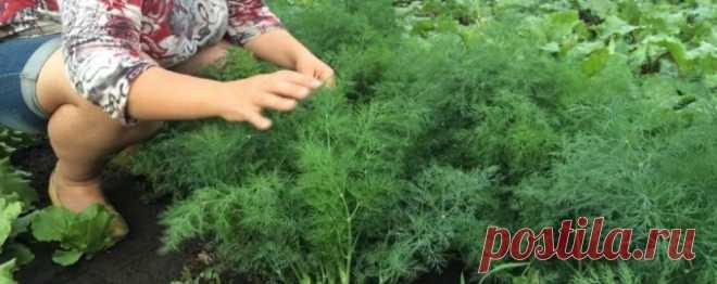 Как сеять укроп в июле и августе, чтобы вскоре вязать пышные пучки - Рецепты